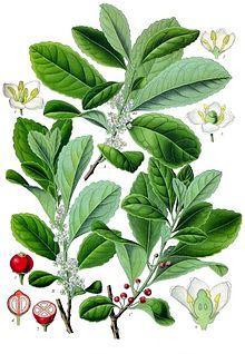220px-Ilex_paraguariensis_-_Köhler–s_Medizinal-Pflanzen-074