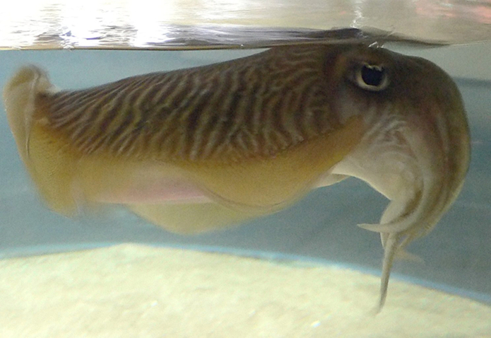 Ubuntu 18.10 será chamado de Cosmic Cuttlefish